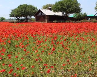 Poppy Fields.  Photo taken by me at the Wildseed Farm, Fredricksburg TX
