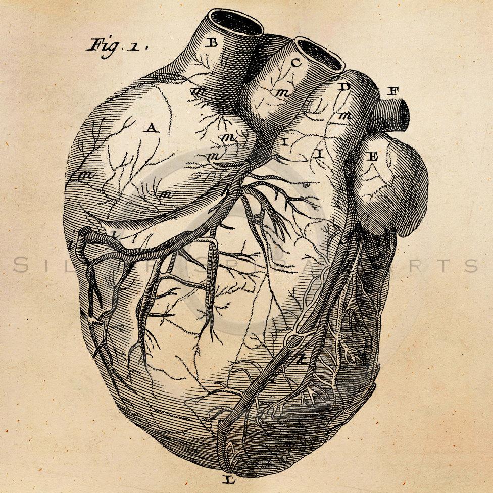 Vintage Heart Anatomy Illustration Printable 1800s Antique