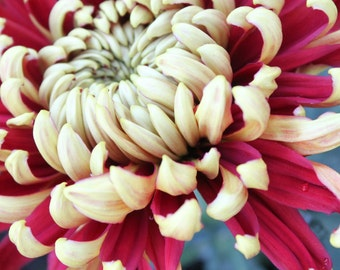 Red and White Chrysanthemum Fine Art Photo
