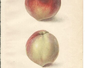 Antique Influence on Precooling Peaches Dept. of Agriculture Book Plate 1909