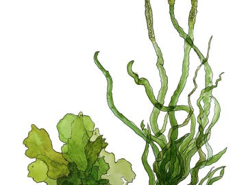 Green Seaweed - Ulva spp. A4 WATERCOLOUR ART PRINT