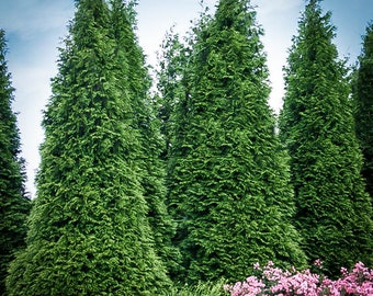 Thuja Green Giant 3-4 Foot