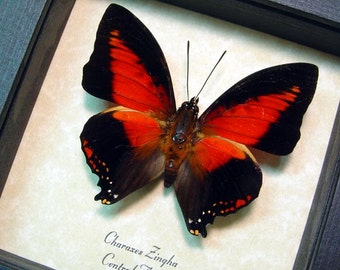 Real Framed African Red Heart Charaxes Zingha Conservation Butterfly 219