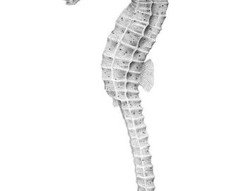 Seahorse fish mounted print, specimen art, pointillism art, ink illustration, fishing, nautical art, taxidermy science, mothers day