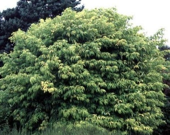 50 European Red Elderberry Tree Seeds, Sambucus racemosa