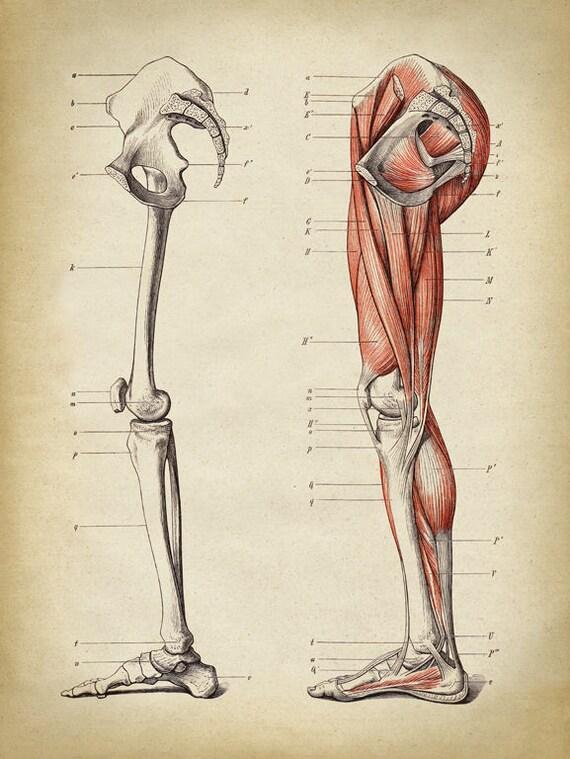 Berühmt Knochen In Den Beinen Bilder - Anatomie Von Menschlichen ...