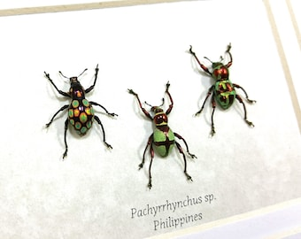 Framed Trio of Pachyrrhynchus Species Weevil Taxidermy A1 #141