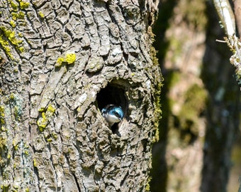Doorway Tree Swallow