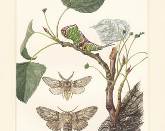 Vintage lithograph of notodontidae, puss moth, prominent moths from 1956