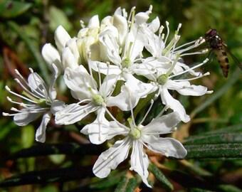 20  Ledum palustre Seeds, Marsh Labrador Tea Seeds