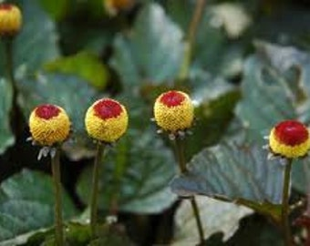 Toothache Plant Seeds, Spilanthes Oleracea, Medicinal Herb, Eyeball Plant and Para Cress