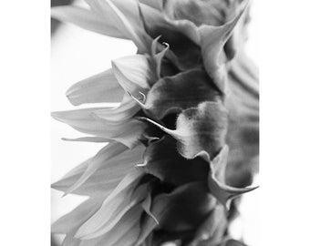 Sunflower, Bungay, Suffolk, Signed Art Print / Black and White Fora Photography /Sunflower Macro Photo