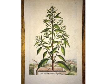 1702 CEDAR PLANT original antique botanical engraving - botrys mexiocana odorata