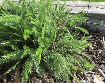Yarrow Plant - Achillea millifolium