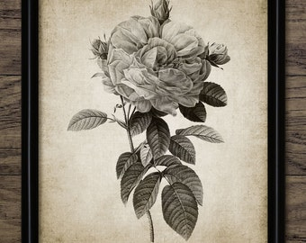 Vintage Rose Print - Rose Illustration - Rose Plant Art - Botanical Rose Art - Printable Art - Single Print #333 - INSTANT DOWNLOAD