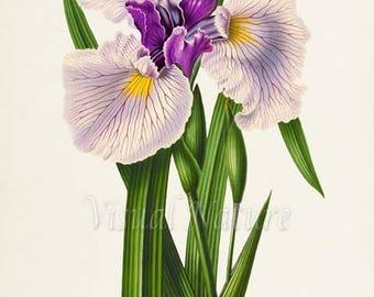 Japanese Iris Flower Art Print, Botanical Art Print, Flower Wall Art, Flower Print, Floral Print, Home Decor, purple