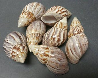 Fairyland Japanese Land Snail Seashells (Polished)  (2 Shells)