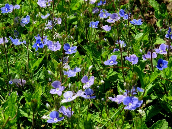 Creeping veronica veronica repens perennial plants live plants creeping veronica veronica repens perennial plants live plants ground cover plant blue flowers outdoor plants garden plants from mightylinksfo