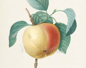 Apple Botanical Print, Apple Art Print, Fruit Art, Fruit Print, Kitchen Art, Garden, Redoute Art, Calville Blanc Fruit Tree Branch