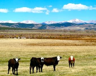 Cows in Colorado