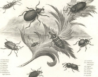 1812  Engraving - Beetles, Coleoptera, Bugs, Entomology, Insects- Rees