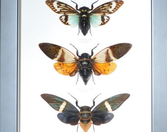 Trio of giant cicadas from Thailand, outstanding!