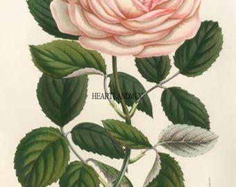 Vintage Pink Rose Flower Print Art Graphic Download Printable Image 300 DPI