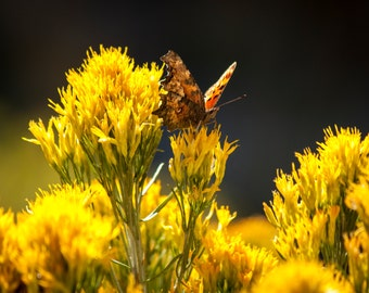Color Me Yellow Butterfly - Photography - Digital Download Photography- Butterfly landing on a yellow flower.