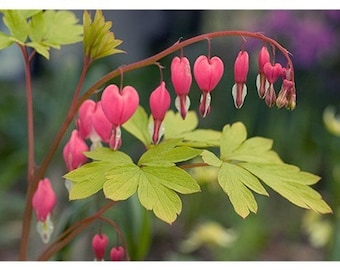 Bleeding Heart Photo Card, Blank Card, Mother's Day Flower Greeting Card, Mothers Day Card