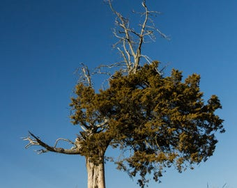 Standing the Test of Time-Old Man Juniper Tree