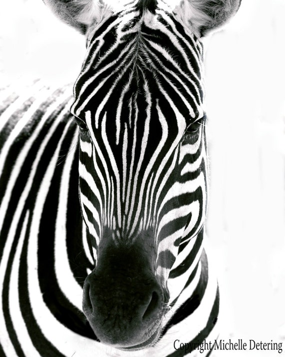Zebra in white digital photography zebra photography zebra art print black and white photography zebra art zebra decor safari art