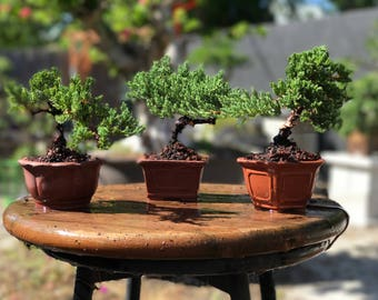 Juniper Bonsai Tree/ Bonsai gift/ Wedding favors