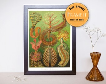 """Vintage illustration from Ernst Haeckel  - framed fine art print, sea creatures,sea life, home decor 8""""x10"""" ; 11""""x14"""", FREE SHIPPING - 310"""