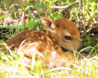 Deer Photography, Fawn Print, Whitetail Deer Nature Print, Fawn In The Woods, Nature Art, Little Baby Deer, Forest Babe