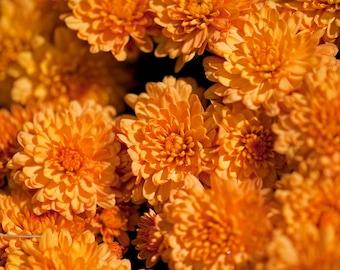 Orange Mums, Chrysanthemum Fall Photograph Print 4x6, 4x4, 5x7, 8x8, 8x10, 11x14