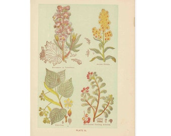 C. 1906 MEDICINAL PLANT PRINT - lithograph original antique botanical flower print - staveacre thistle lime tree and arbutus