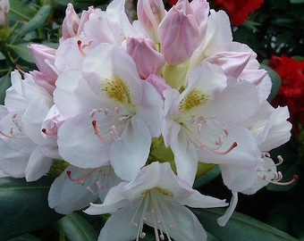Cat Album White Rhododendron - Live Plant - Quart Pot