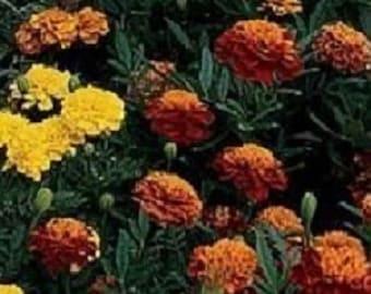 50 Marigold Janie Mix French Marigold Seeds