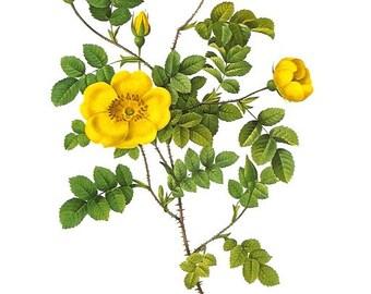 Redoute Botanical Rose Print  11