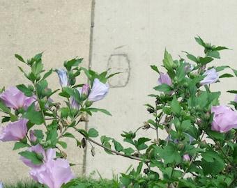 Rose of Sharon, flower photo, photography, lavender flowers, purple blossoms, buds, green, sidewalk, sidewalk stamp, garden, summer, cement