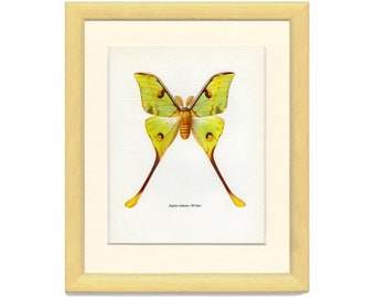 Vintage Moth Print, Lesser Tailed Comet Moth, M/B/1966/27, Butterfly, Lepidoptera, Natural History, Frameable Art