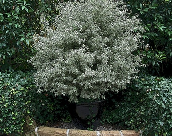 Variegated Plant in Black Pot, 5x7 Photo, California Garden Photo, Pittosporum, Santa Barbara Garden, Plant Photo, Botanical Photo