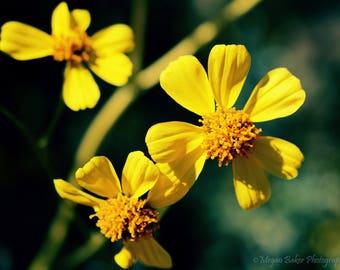 Yellow flower photography, wild flower photography, digital photo, printable photo, digital download, desert flower art, desert flower photo