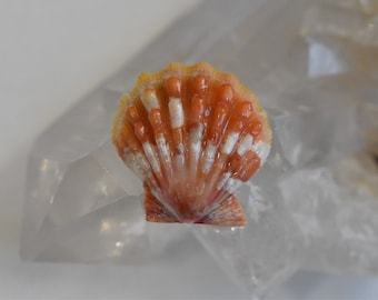 Unique Two Tone Orange-Yellow Activated Hawaiian Sunrise Shell