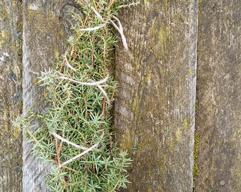 Juniper tree branch natural herbal sacred wood magical tool twigs incense smudge wicca pagan celtic purification Juniperus Communis