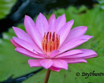 "Digital Photo ""Lotus Love"""