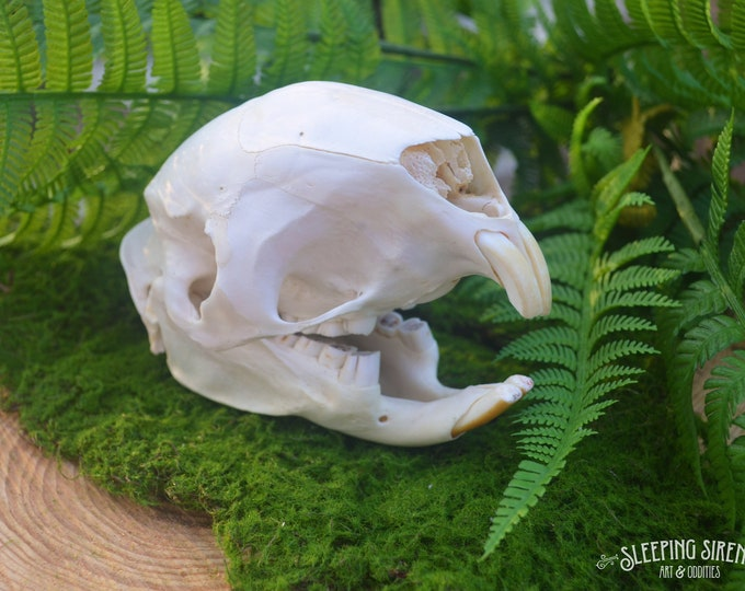 Rare African Crested Porcupine Real Skull