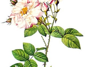 Redoute Botanical Rose Print  34