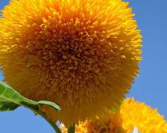 Teddy Bear Sunflower Heirloom Seeds - Non-GMO, Open Pollinated, Untreated, Flower Seeds