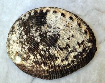 "Green Abalone Seashell (4"") - Haliotis Fulgens"